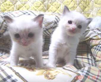 ラグドール子猫3週目バイカラー女の子_e0033609_0425652.jpg