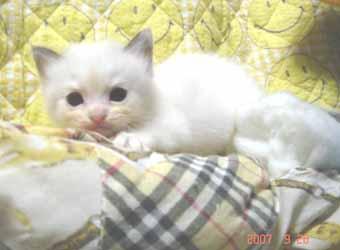ラグドール子猫3週目バイカラー女の子_e0033609_042632.jpg