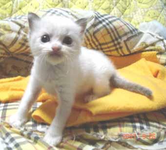 ラグドール子猫3週目バイカラー男の子_e0033609_07251.jpg