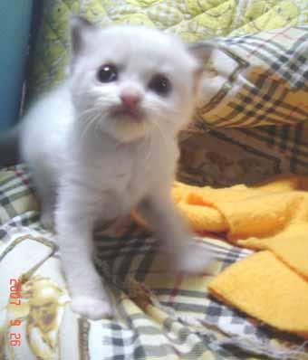 ラグドール子猫3週目バイカラー男の子_e0033609_075070.jpg