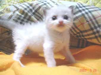 ラグドール子猫3週目バイカラー男の子_e0033609_081620.jpg