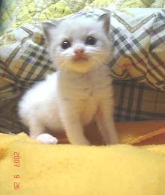 ラグドール子猫3週目バイカラー男の子_e0033609_084265.jpg