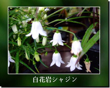 白花岩シャジン