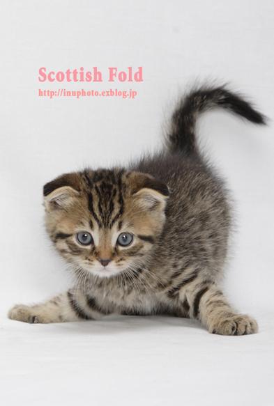 Scottish Fold_d0101050_20305621.jpg
