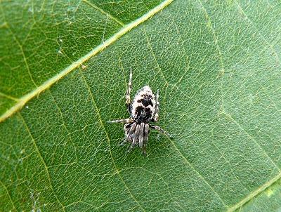 クズの葉に居たちいさな蜘蛛「ネコハグモ」_d0019074_7124377.jpg