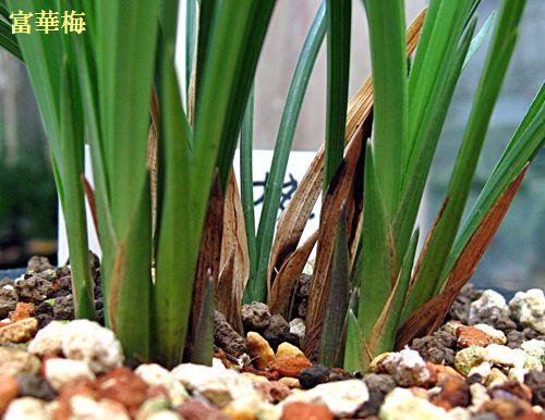 ◆10月、。東洋蘭の花芽            No.116_d0103457_21273198.jpg