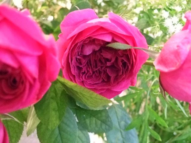 オークリーフ(薔薇と秋桜)_f0049672_11183339.jpg