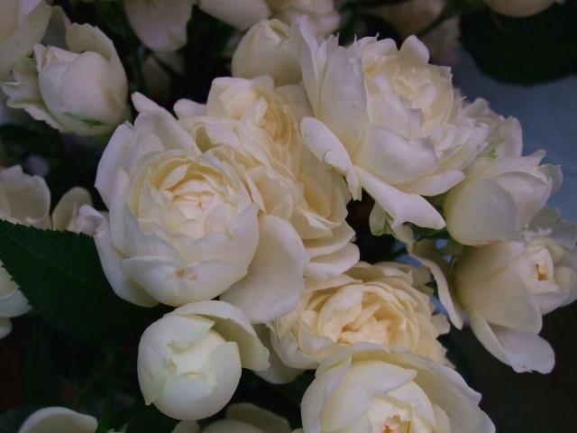 オークリーフ(薔薇と秋桜)_f0049672_11274081.jpg