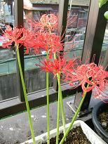咲いています_f0139963_6274291.jpg