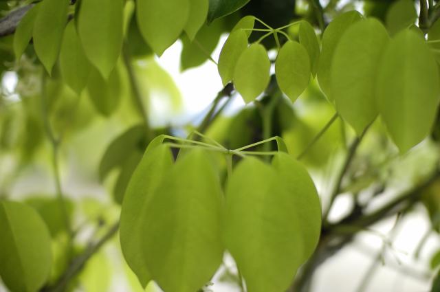 GWに行った岡山県の牡丹園より。写っているのはただの葉っぱです(笑)きれいな形で規則正しい並び方の葉っぱです♪