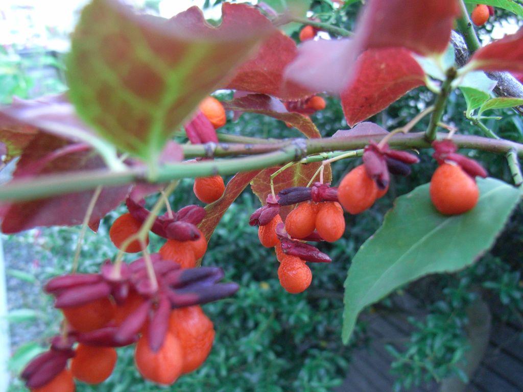 秋の赤い実_c0025115_22424862.jpg