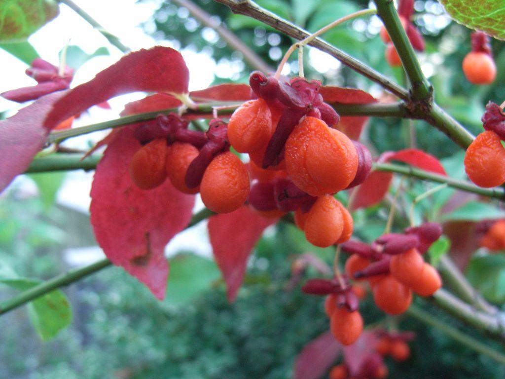 秋の赤い実_c0025115_22433284.jpg