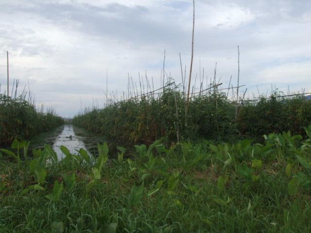 <インレー湖> インダー族の片足漕ぎと水上農園_c0011649_638622.jpg