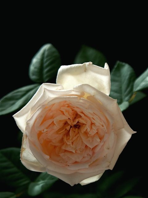 Bloom like an English Rose。_e0044929_2325813.jpg