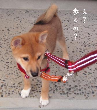 散歩デビュー_f0068501_10101831.jpg