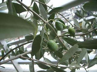 オリーブの木 その後_b0107003_23581836.jpg