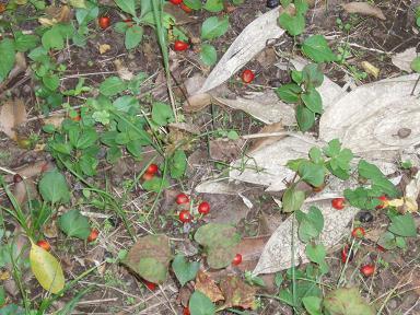 赤い実さがそう_b0049307_16401490.jpg