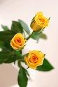 バラ ゴールドストライク 黄色