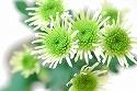スプレーマム 糸咲き 白