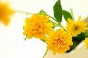 姫ひまわり 旭 黄色 オレンジ
