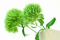 テマリソウ 緑