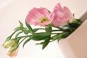 トルコキキョウ 一重 彩の粧 ピンク