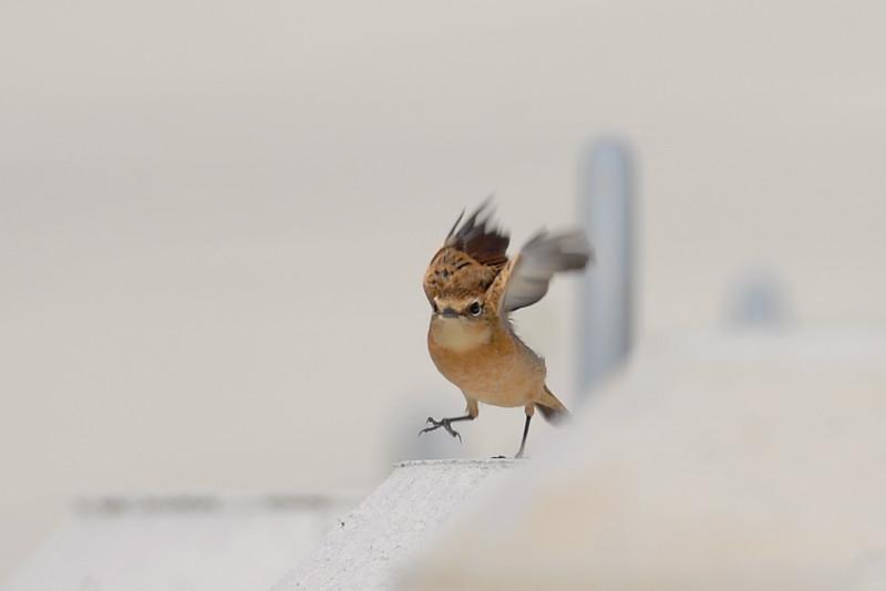 冬羽のノビタキ_f0053272_1829459.jpg