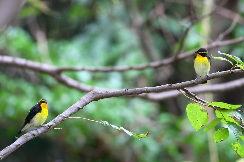 青い実、赤い実、黄色い鳥_a0052080_2103890.jpg