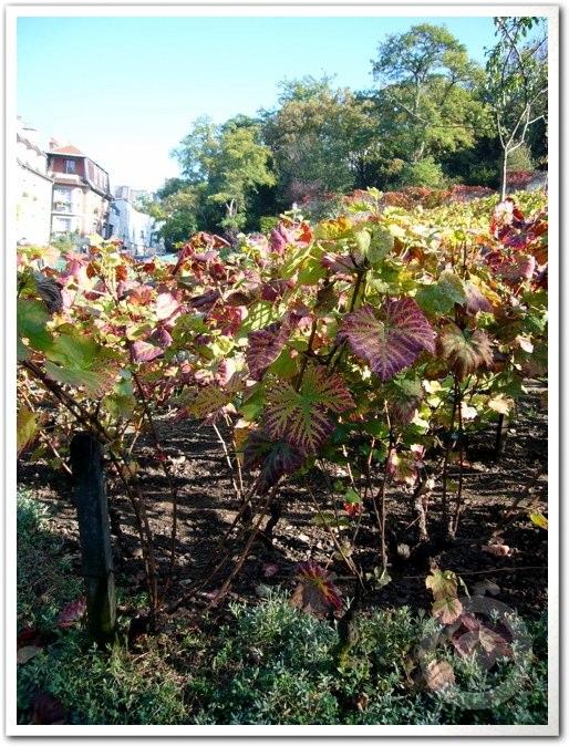 ■モンマルトルの葡萄畑(パリ)_a0014299_79547.jpg