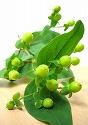 ヒペリカム 緑 実物