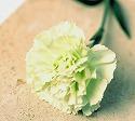 カーネーション 黄緑 プラドミント