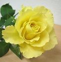 バラ スカイライン 黄色