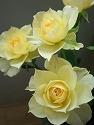 イエロードット バラ黄色