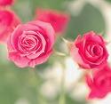 スプレーバラ ラブリーリディア ピンク