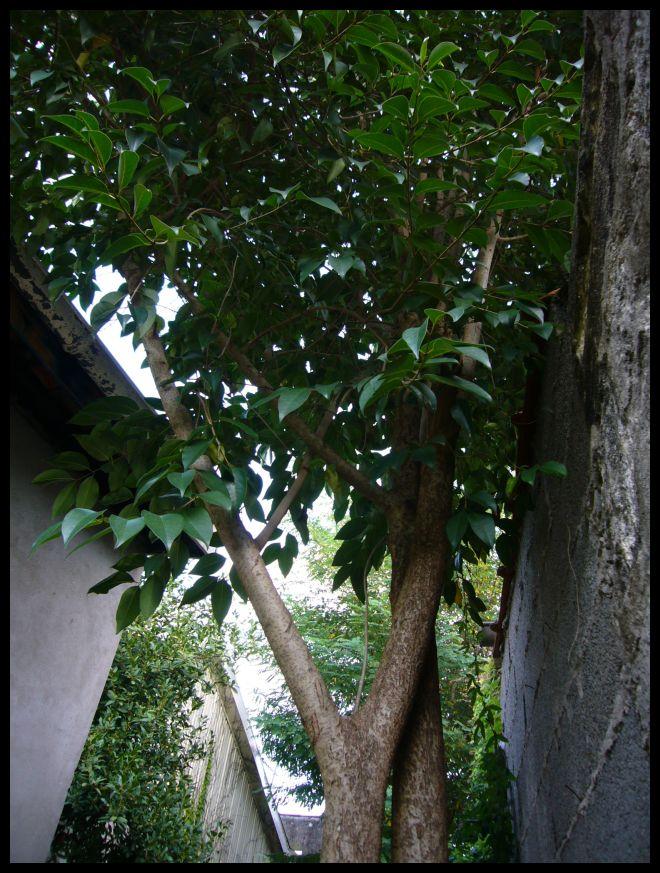 ■友達の庭の木(ボルドー)_a0008105_1722378.jpg