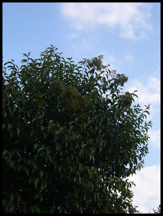 ■友達の庭の木(ボルドー)_a0008105_173149.jpg