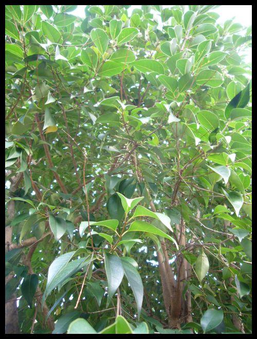 ■友達の庭の木(ボルドー)_a0008105_1736873.jpg