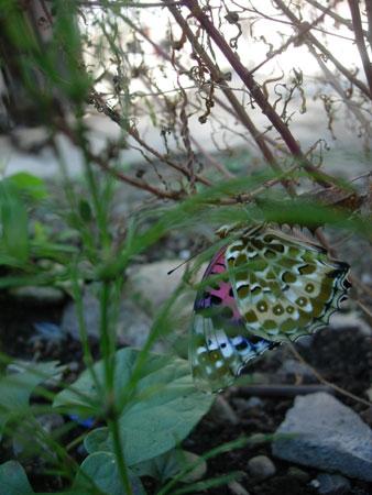 晩秋の蝶たち_e0097534_9323986.jpg