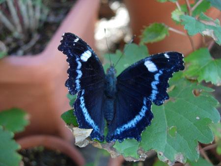晩秋の蝶たち_e0097534_950206.jpg