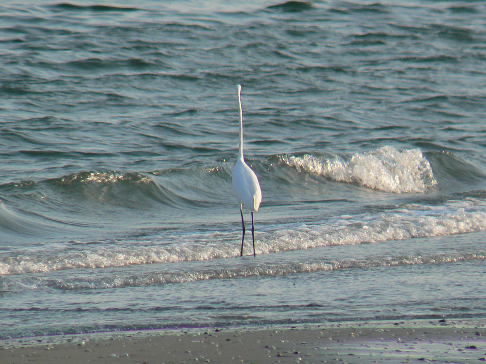 波打ち際で餌を捕る ダイサギ_e0088233_217153.jpg