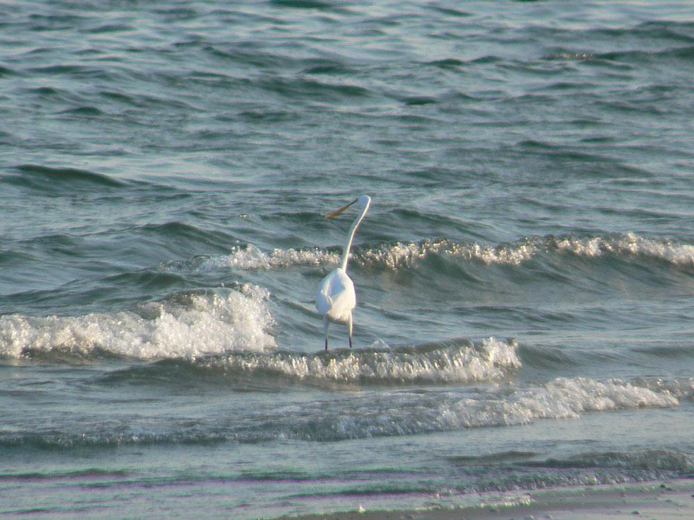 波打ち際で餌を捕る ダイサギ_e0088233_2171621.jpg