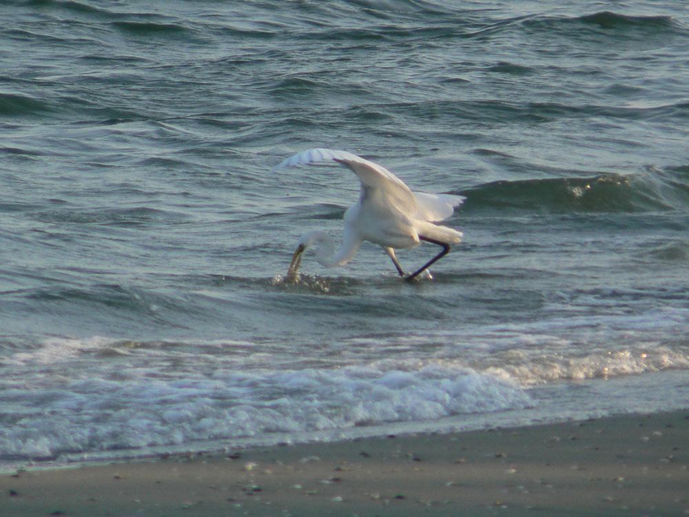 波打ち際で餌を捕る ダイサギ_e0088233_2191310.jpg
