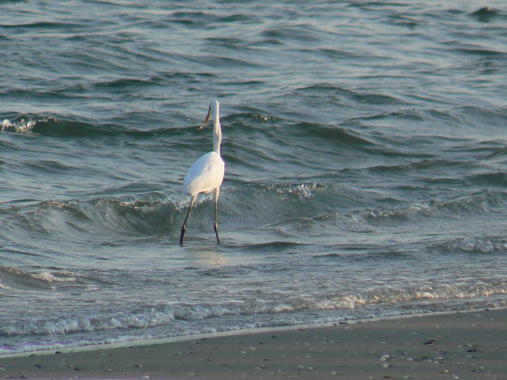 波打ち際で餌を捕る ダイサギ_e0088233_2192724.jpg