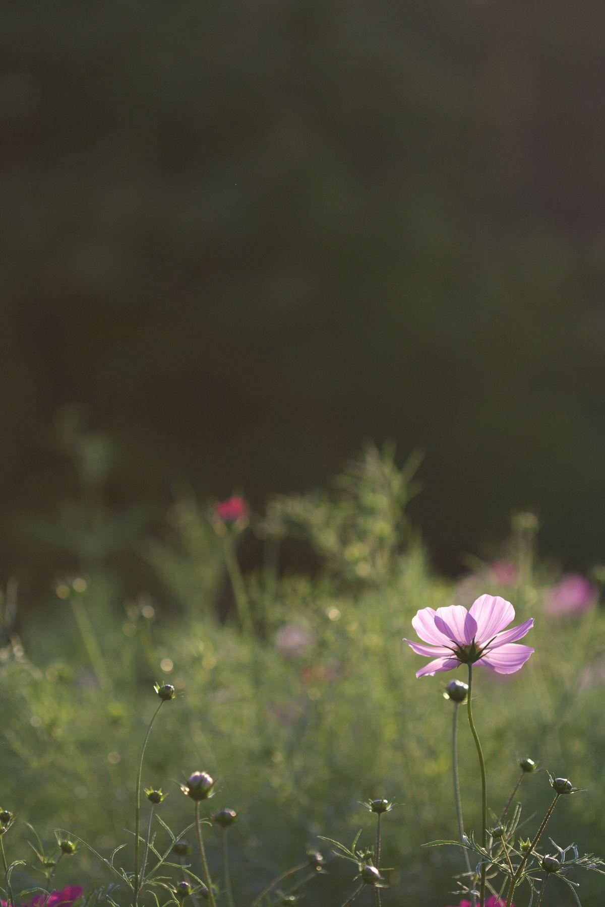近所の秋桜_d0108063_22322319.jpg