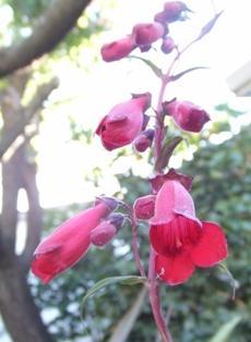 California Native plants_b0069365_14144662.jpg