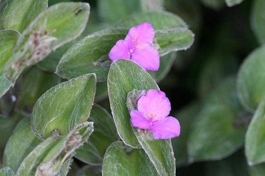ツユクサ科(Commelinaceae)_d0096455_11353296.jpg