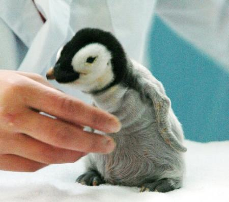 人工ふ化で誕生したエンペラーペンギンのひな_b0052564_1414512.jpg