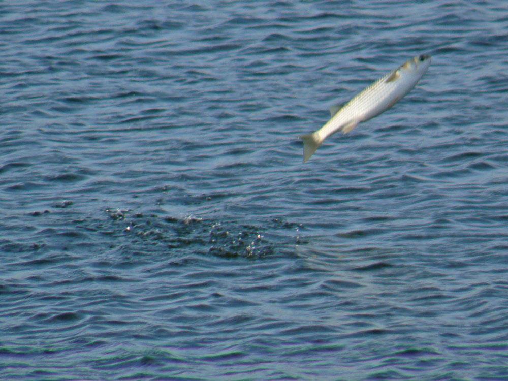 魚のジャンプ_e0088233_22174335.jpg