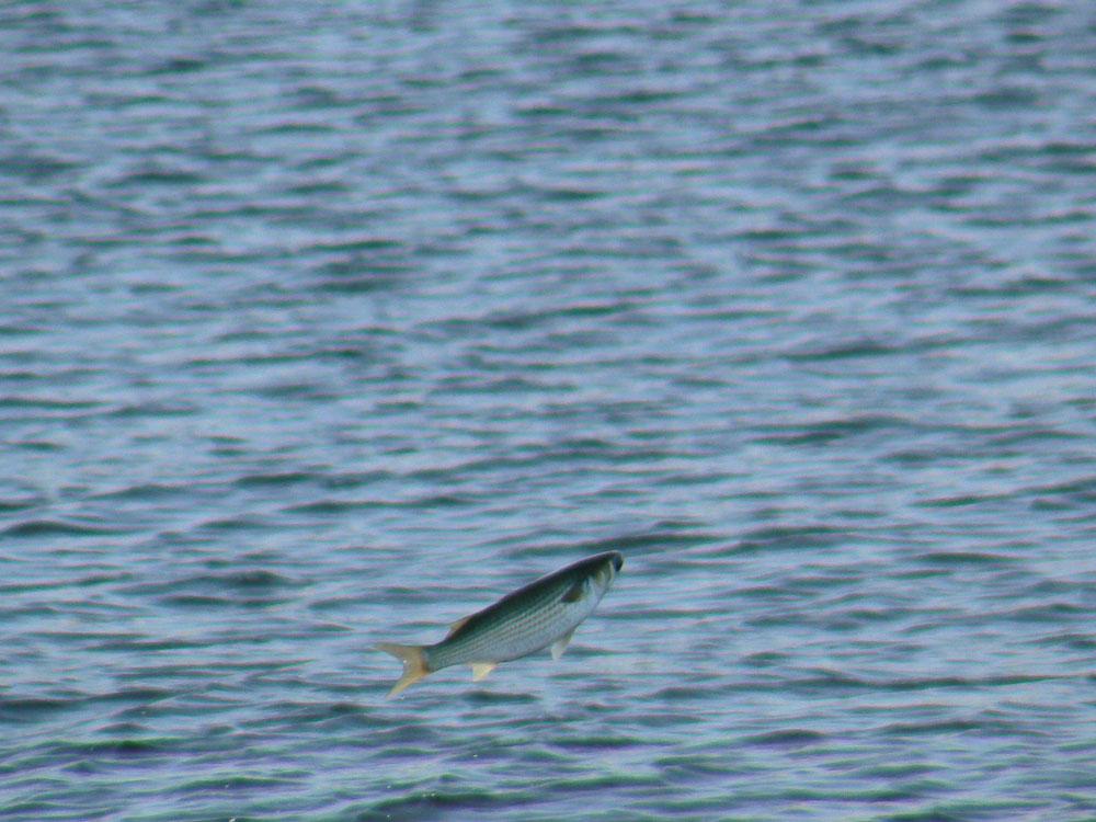 魚のジャンプ_e0088233_22182861.jpg