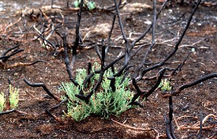 なぜ南カリフォルニアに山火事は起こるのか? -fire ecology Part 1-_b0069365_13475970.jpg